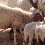بلدية غمراسن تمنع تربية أكثر من 5 رؤوس أغنام داخل التجمعات السكانية