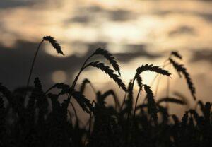 الجزائر دعت مصدري الحبوب من الاتحاد الروسي للاعتماد للمشاركة في المناقصات - اتحاد مصدري الحبوب - The Times Hub