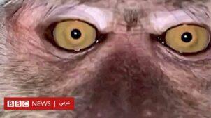 قرد يسرق هاتفا محمولا ويلتقط صورا ذاتية - BBC News عربي
