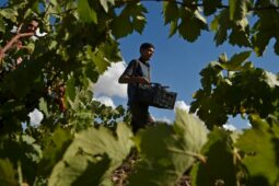 Covid-19 heaps misery on Algeria's wilting vineyards