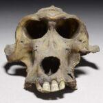 هل هذه جمجمة البابون دليل على مملكة البنط المفقودة في مصر