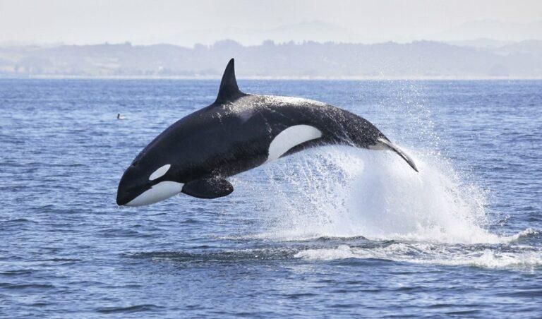 دعوة لإجراء دراسات جديدة عن حيتان البحر الأحمر بعد رصد حيتان الأوركا قبالة الشواطئ السعودية