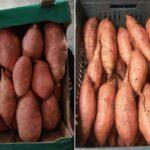موسم البطاطا الحلوة المصري مستمر